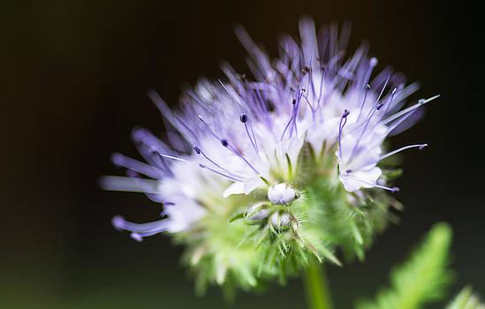 Alan Roberts - Mauve Flower