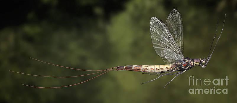 Mayfly Ephemera danica - Majflue - Groene Eendagsvlieg - Grosse Eintagsfliege - Stock Illustration - Stock Image  by Urft Valley Art