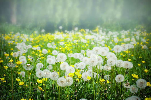 Meadow of Dandelions and Buttercups by Nila Newsom