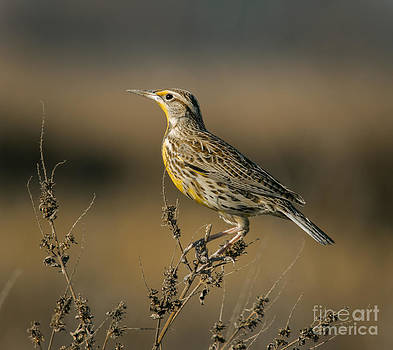 Meadowlark On Weed by Robert Frederick