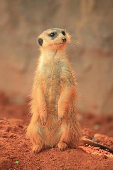 Meerkat 2 by Mandy Shupp