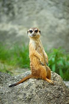 Meerkat by Borislav Marinic
