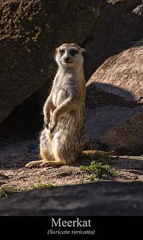 Chris Flees - Meerkat
