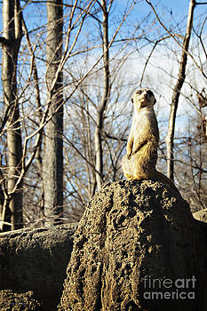 Nancy Stein - Meerkat Lookout