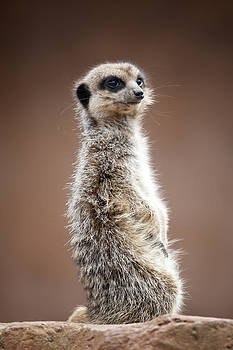 Meerkat portrait by Gillian Dernie