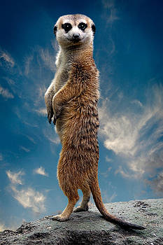 Meerkat by Zoran Buletic