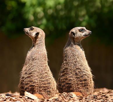 Meerkats by Gillian Dernie