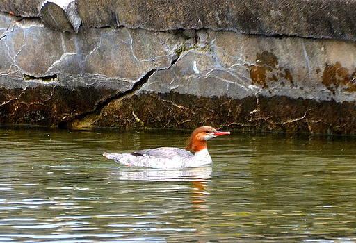 Linda Rae Cuthbertson - Merganser Duck