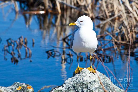 Mew Gull by Chris Heitstuman