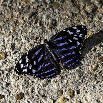 Lynn Palmer - Mexican Bluewing