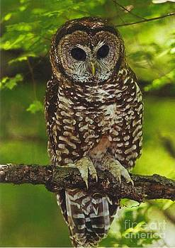 Diane Kurtz - Mexican Spotted Owl