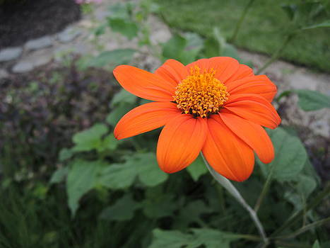 Mexican Sunflower by Chrissey Dittus