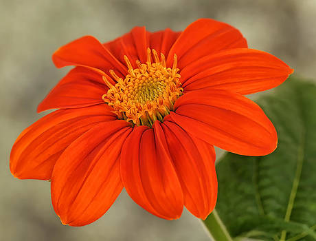 Mexican Sunflower by Liz Mackney