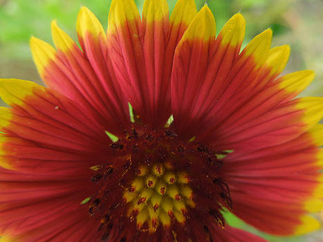 Mexican Sunflower by Peg Toliver