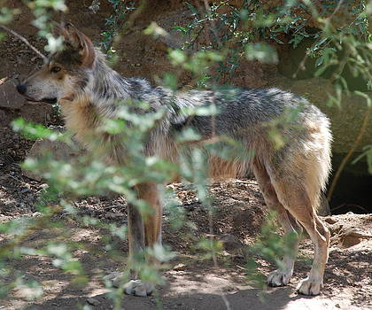Mexican Wolf by Kelly Youngblood