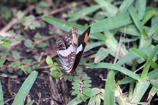 Mexico Butterfly by Ed Nicholles