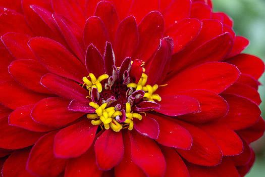 Michigan Flower 2 by Carl Christensen