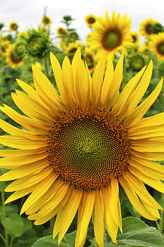 Michigan Sunflower by Evan Butler