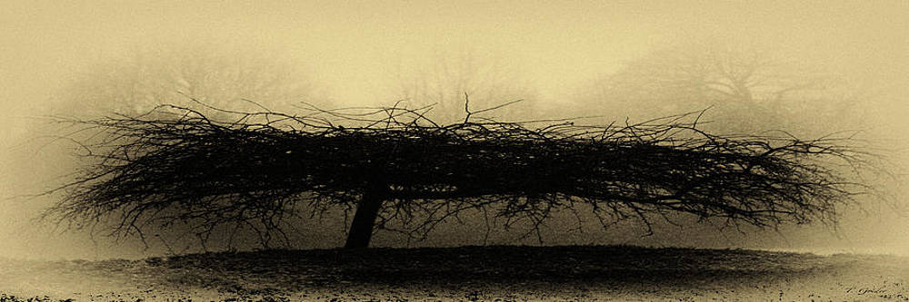 TONY GRIDER - MIDDLETHORPE TREE IN FOG ANTIQUE YELLOW PANORAMA
