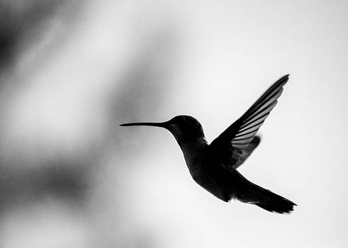 Midflight Hummingbird by Carl Christensen