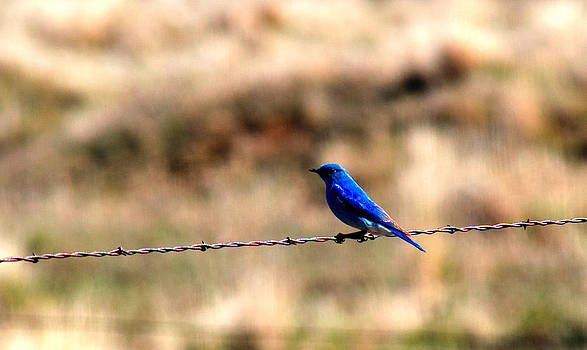 Migrating Blue Bird by Duane King
