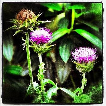 Milk Thistle by Nora Martinez
