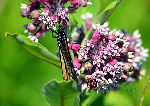 Milk Weed Lunch by Steve Chiarelli