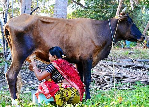 Milking a cow  by Bobby Mandal