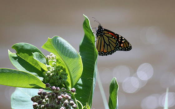 Rosanne Jordan - Milkweed and Monarch