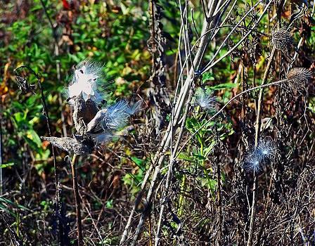 Chris Flees - Milkweed Seeds
