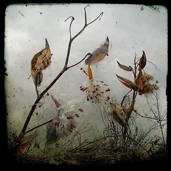 Gothicrow Images - Milky Milkweed