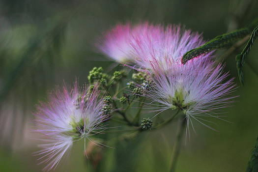 Mimosa Blooms 2 by Cathy Lindsey