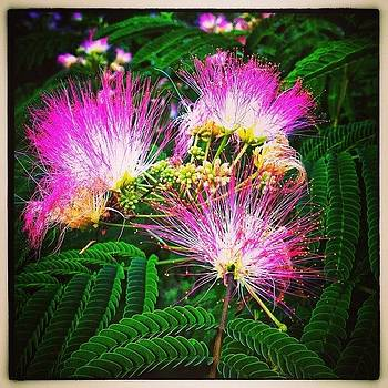 Mimosa Blossoms by Paul Cutright