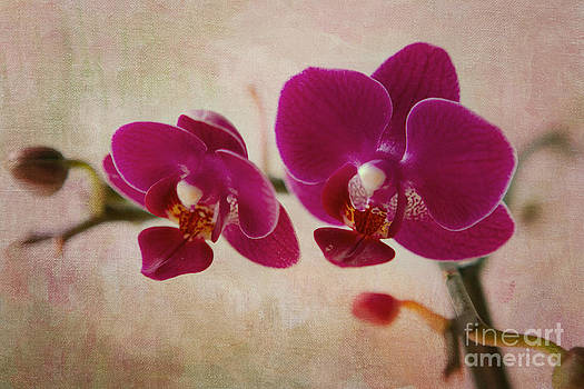 Mini Moth Orchid  by A New Focus Photography