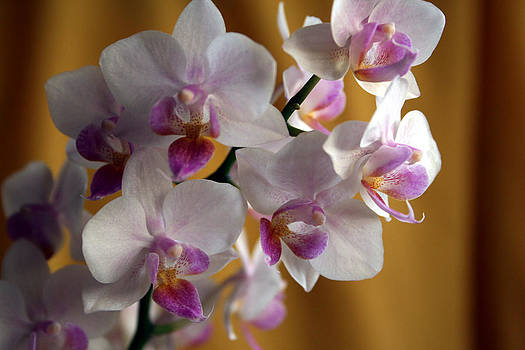 Mini Orchids 12 by Marna Edwards Flavell