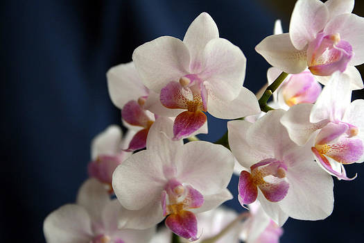 Mini Orchids 3 by Marna Edwards Flavell