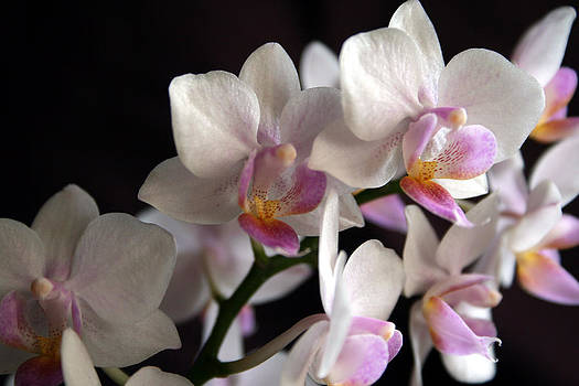 Mini Orchids 5 by Marna Edwards Flavell
