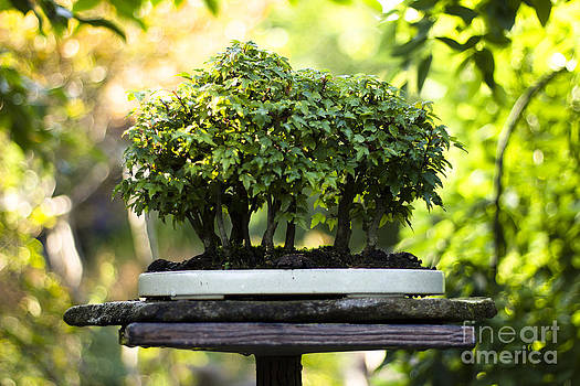Beverly Claire Kaiya - Miniature Green Forest Bonsai