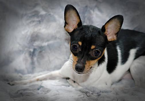 Lisa Moore - Miniature Rat Terrier