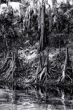 Minions of the Bald Cypress by Daniel Caron