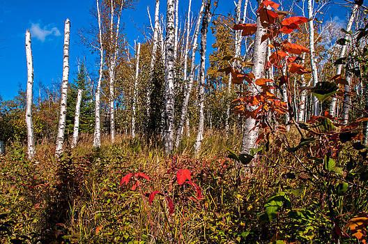 Minnesota Birch Trees in Autumn by Lonnie Paulson