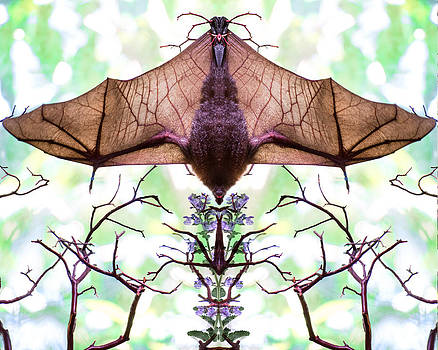 Mirror image of a bat hanging upside with wings spread by Kim M Smith