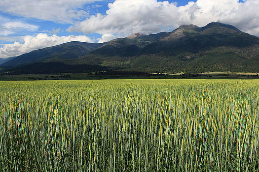 Mission Valley wheat by Jim Cotton