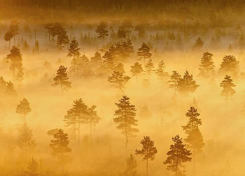 Misty Trees in the Morning by Teemu Tretjakov