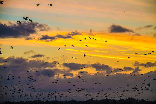 Mixed Geese at Sun Set by Brian Williamson
