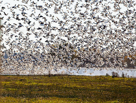 Mixed Geese jumping by Brian Williamson