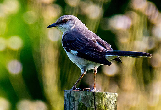 Mocking Bird by Adrian Arceci