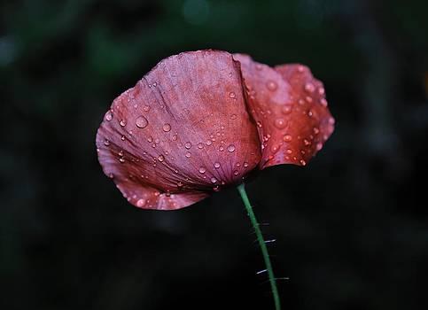 Moist Poppy by Heather L Wright