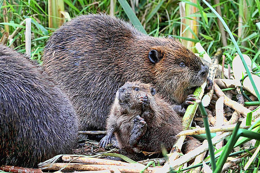 Peggy Collins - Mom and Baby Beaver