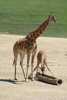 Mom and Baby Giraffe by A D Jodrell